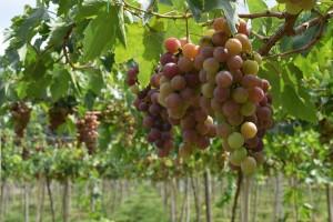 grapes-1129478_960_720